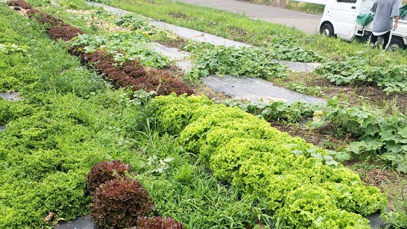 健康に育った有機野菜